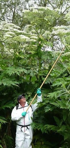 Giant hogweed - do not approach - best left to experts