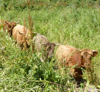 Line of four Highland cattle