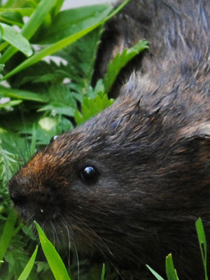 Watervole reintroduction